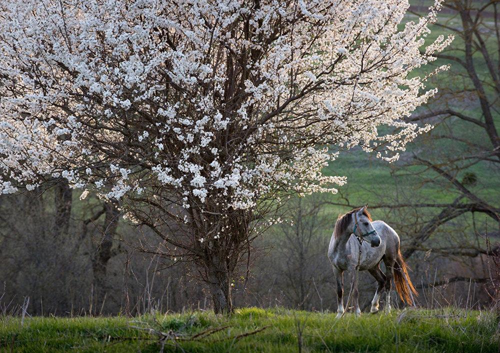 一树繁花下的马儿,克里米亚克利诺夫卡镇