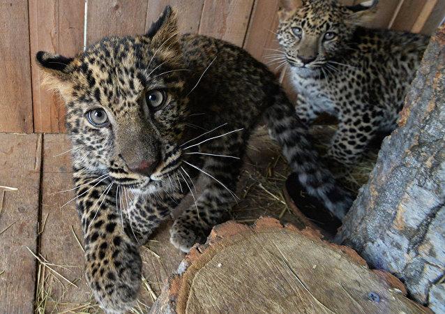 """俄罗斯""""豹之乡""""国家公园远东豹巴莉产下2只幼崽"""