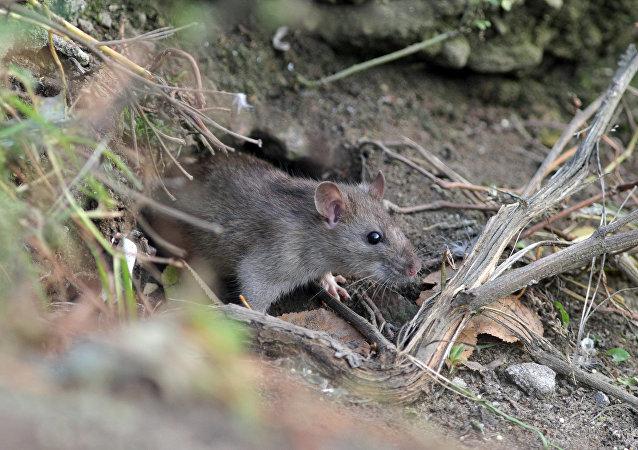 美国一城市老鼠数量打破纪录