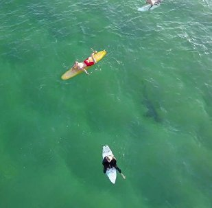 鲨鱼近在咫尺 冲浪者毫无察觉