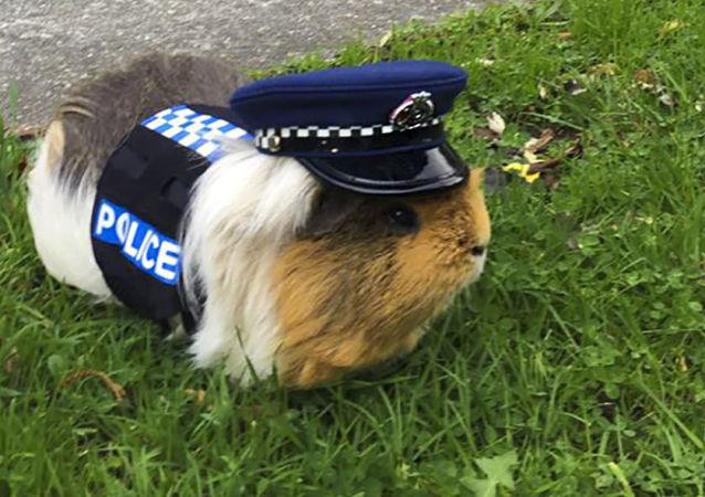 豚鼠埃利奥特——新西兰警察局的吉祥物,只是被戏称为警察。