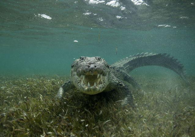 媒体:泰国度假海滩闯入湾鳄 且至今没被抓住