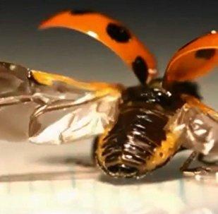 瓢蟲像摺紙一樣收翅膀
