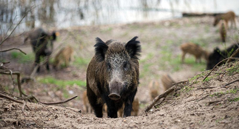 媒体:维也纳自然保护区的一群野猪攻击了一名英国外交官