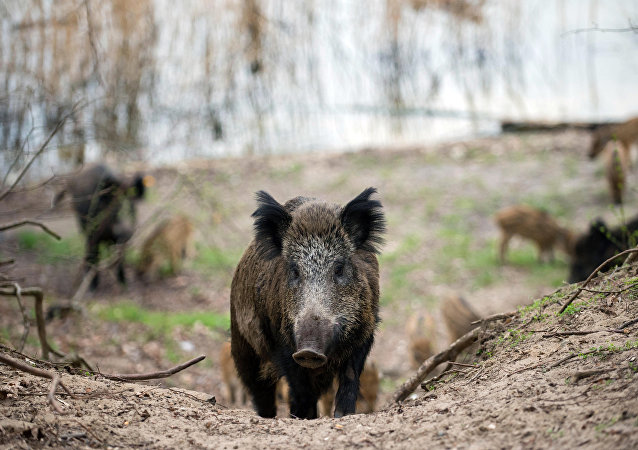 Wild boars in a forest