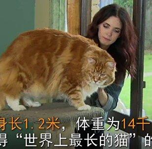 澳大利亞一隻三歲的貓有望獲得「世界上最長的貓」的稱號