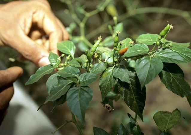 英国农场主培植出世界上最辣的辣椒,其辣度可以致人死亡
