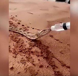 視頻:沙漠蛇酷熱難耐 獲好心人注射器餵水解渴