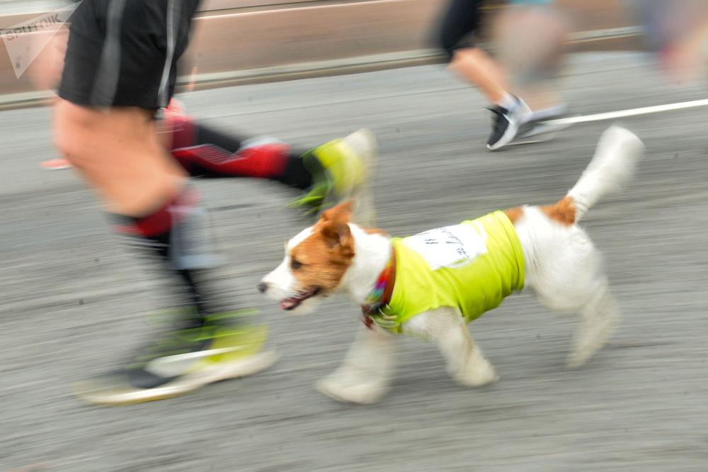 莫斯科2017年半程马拉松赛的参赛者和狗一起奔跑