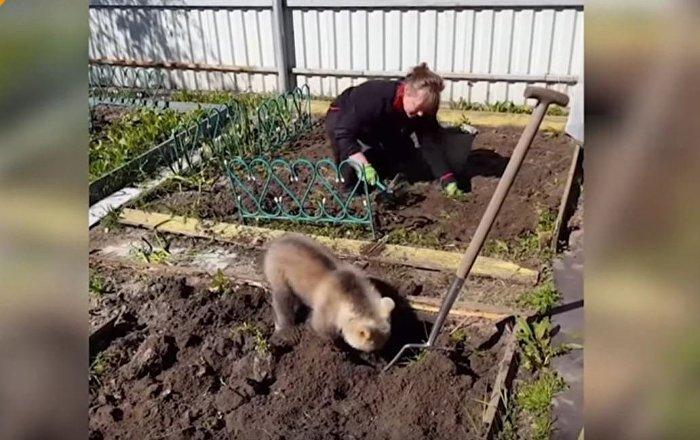 少見多怪,不就是小熊翻地麼