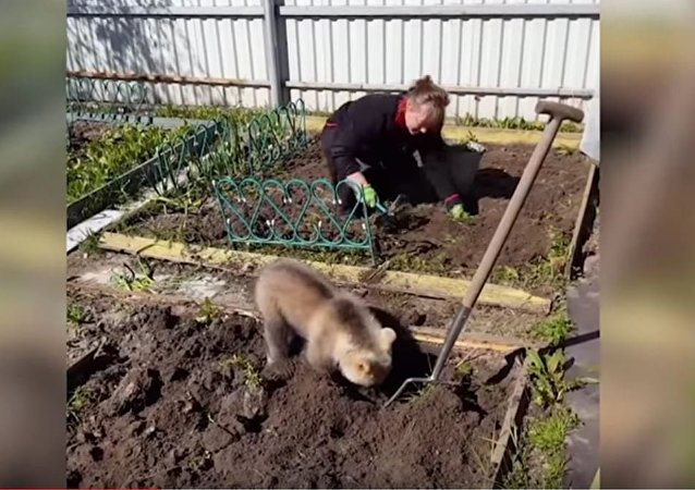 少见多怪,不就是小熊翻地么