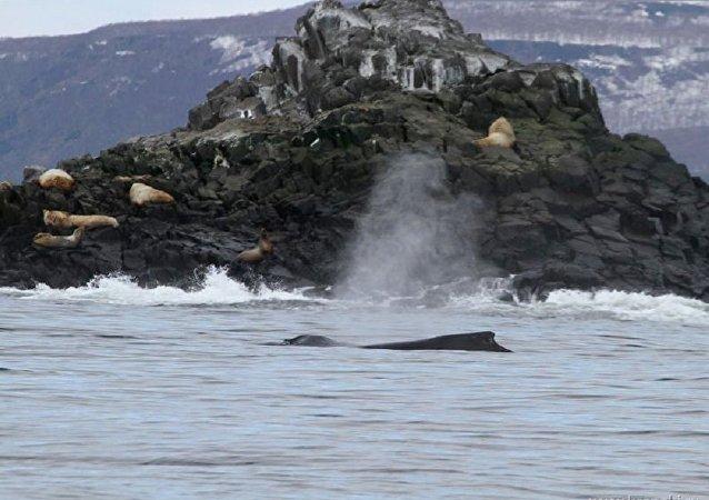俄勘察加海岸附近發現罕見座頭鯨群