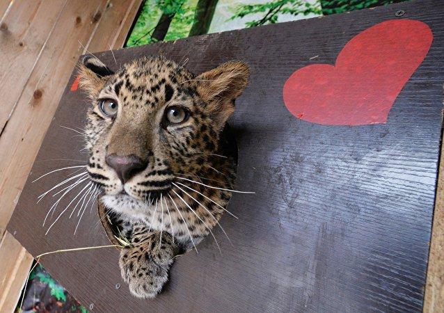 莫斯科動物園計劃從平壤獲得雲豹