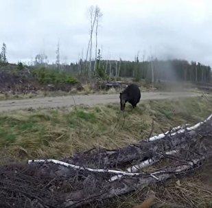 加拿大男子試圖用弓箭擊退熊