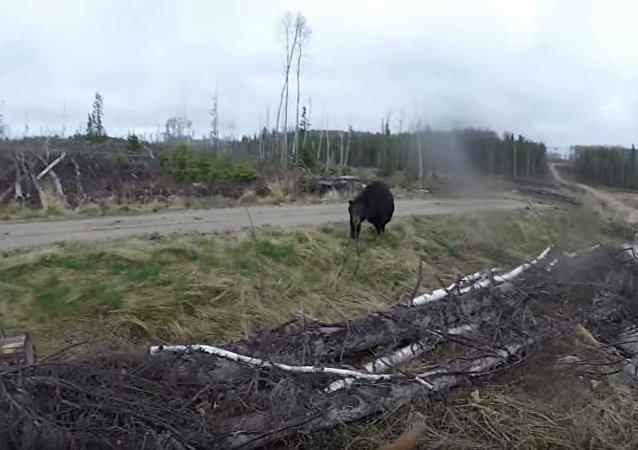 加拿大男子试图用弓箭击退熊