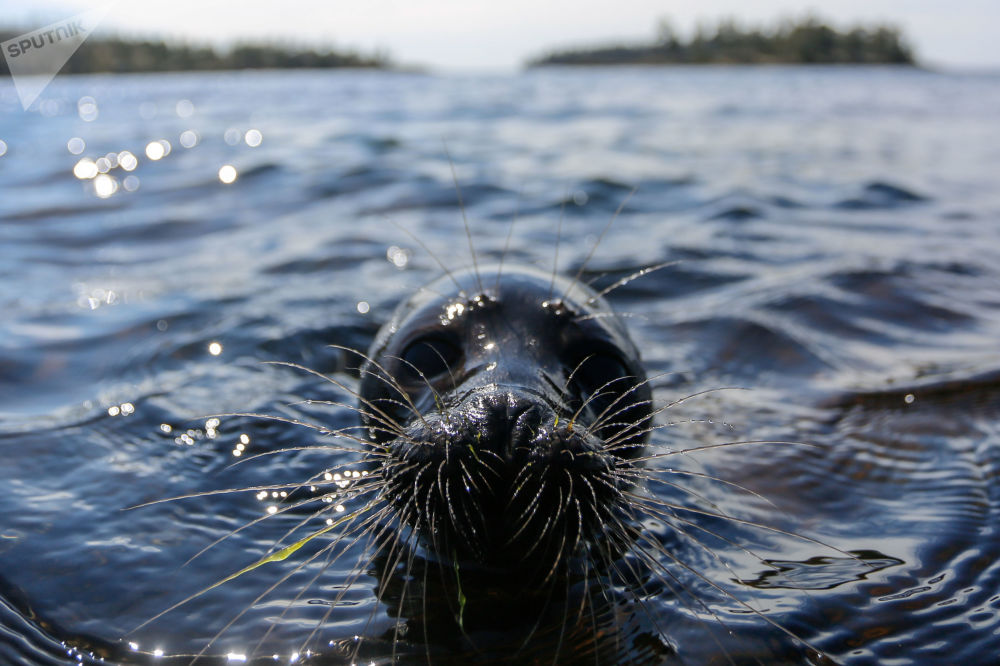 获救小海豹被放回拉多加湖。