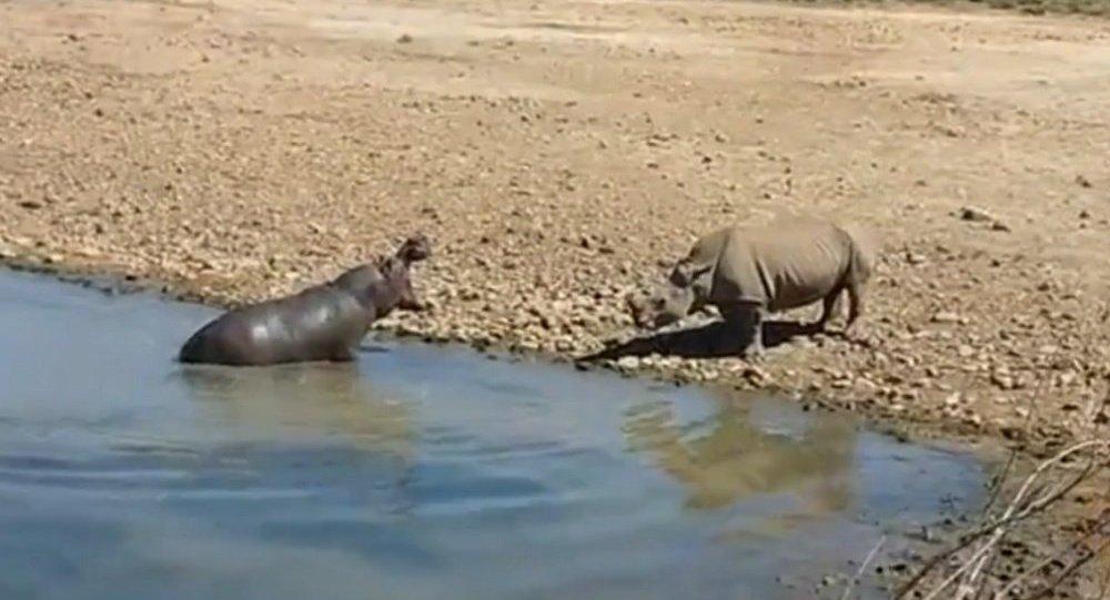 南非河马为争夺水源将犀牛溺毙