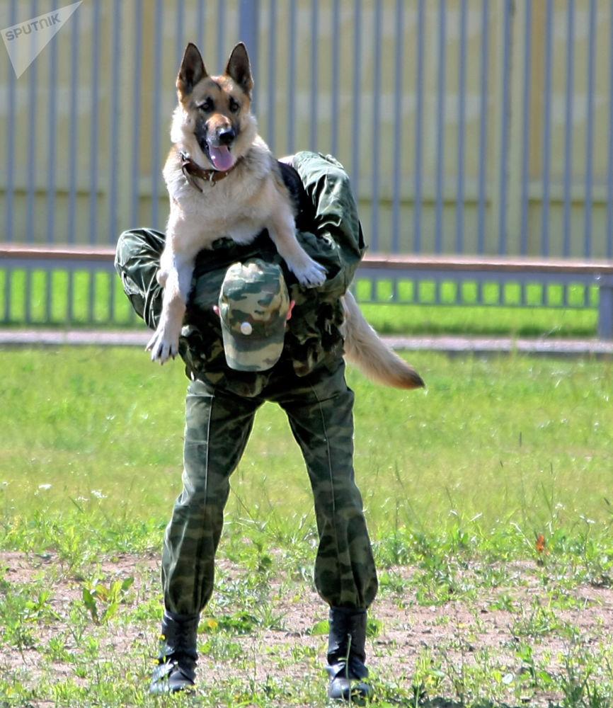 2017年3月巴尔米拉解放后,搜爆犬被派往该地协助俄工程兵开展排雷工作。