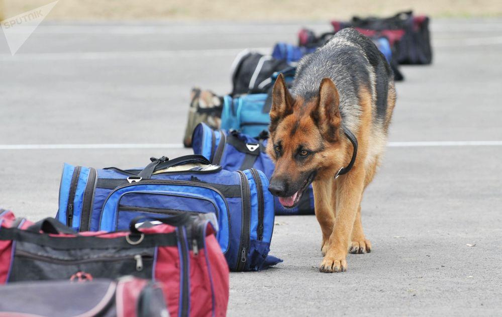 军队和执法机关最常使用的是德国牧羊犬。
