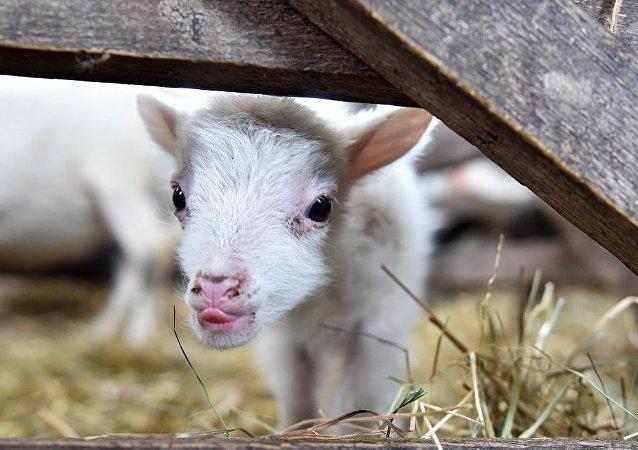 """南非绵羊产下""""半人半羊""""引恐慌"""