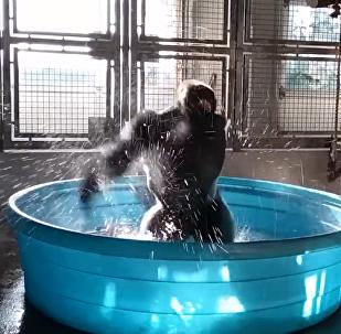 旁若無人!大猩猩池中熱舞