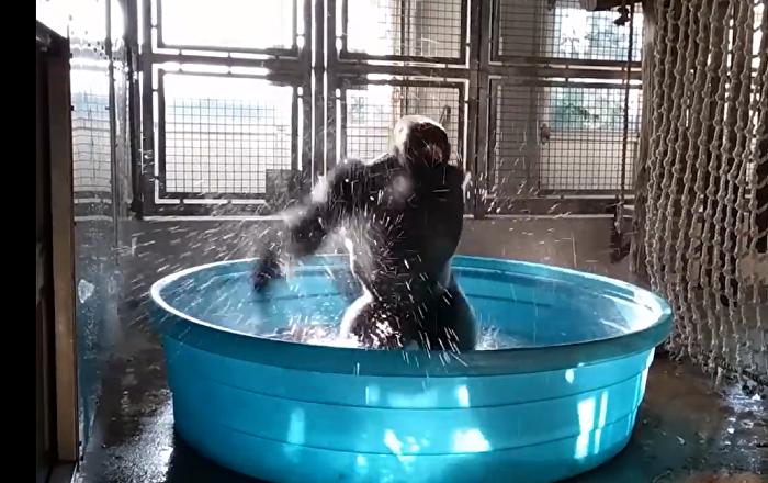 旁若无人!大猩猩池中热舞