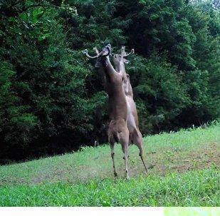 两鹿直立激战似拳击