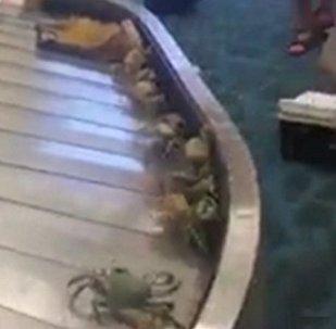 纽约机场上演螃蟹大逃亡!