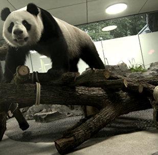 中國熊貓在德國