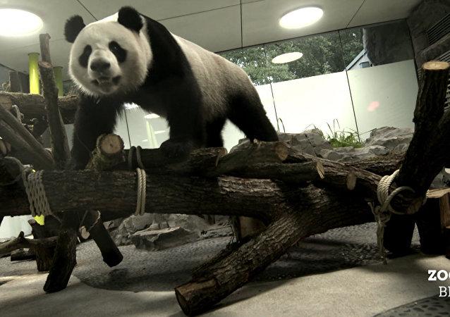 中国熊猫在德国
