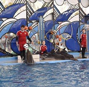 索契神算海豚预言联合会杯半决赛赢家