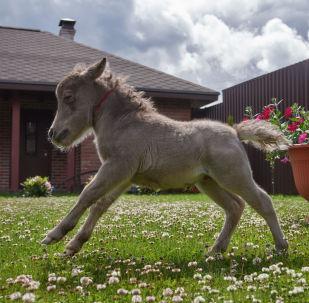 世界最小马驹在俄降生