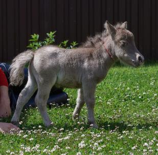 世界最小馬駒在列寧格勒州一農場降生。