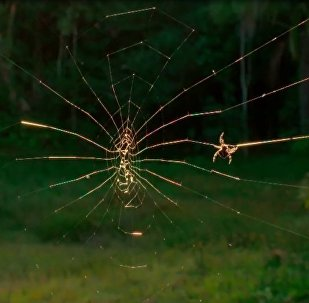 达尔文吠蛛结宽25米大网捕食