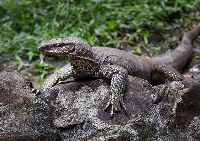 泰国巨蜥啃食游客