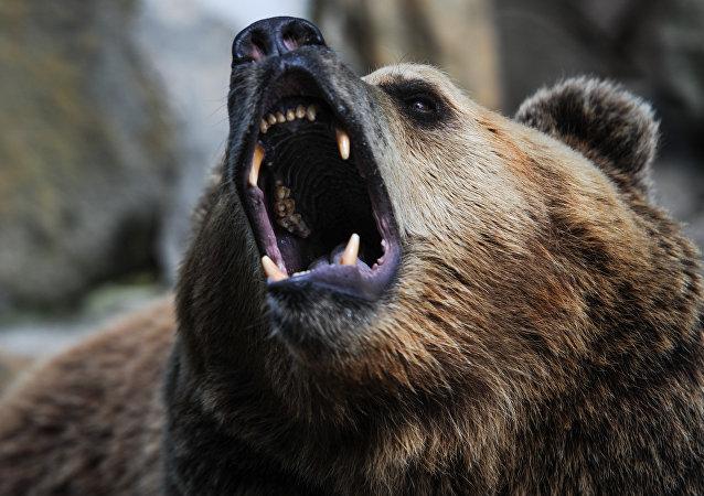 咬熊的舌头!一名图瓦居民在针叶林中与熊激斗并活了下来