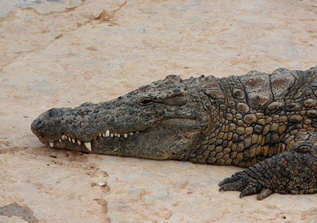 在一条六米长的鳄鱼肚子里发现了人的手脚