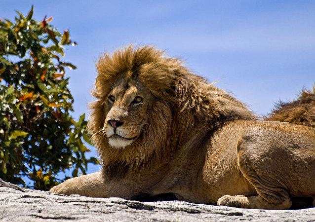 烏茲別克斯坦一私人建築處發現一頭被非法豢養的非洲獅
