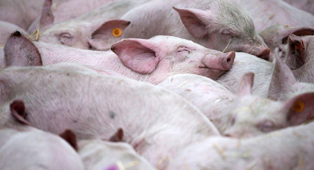 俄獸醫局發現莫斯科郊區某地爆發豬瘟