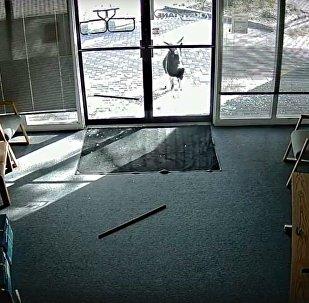 美一公司玻璃门被撞碎 竟是山羊所为