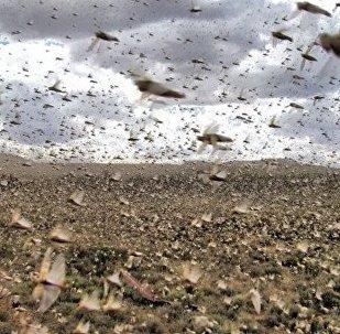 飛蝗入侵俄羅斯 遮天蔽日好不駭人
