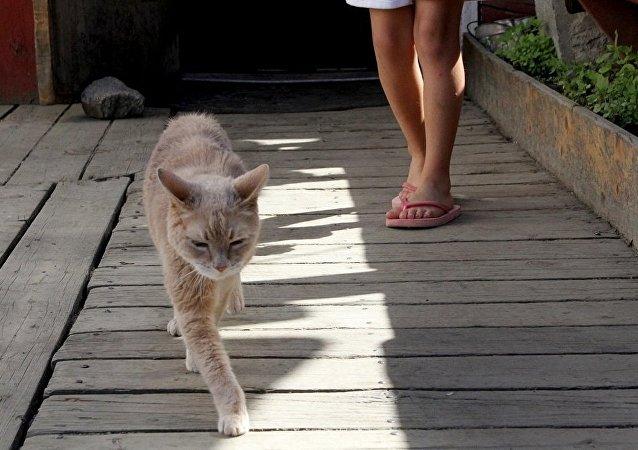 美国阿拉斯加州塔尔基特纳小城的终身荣誉猫市长斯塔布斯