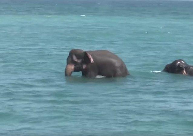 斯里蘭卡軍方營救「出遊」大象(視頻)