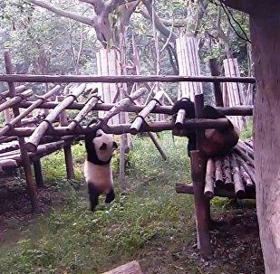 熊貓課堂:從哪裡摔倒,就在哪裡躺下