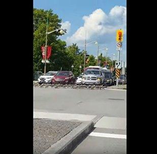 加拿大鹅群等绿灯过马路