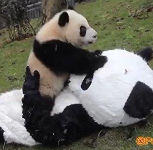 飼養員身著熊貓裝與熊貓寶寶玩耍