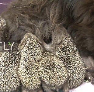 一只猫喂养了八只刺猬