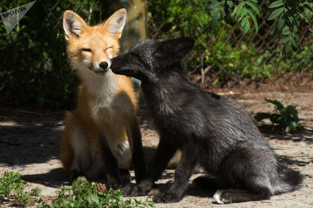 俄罗斯科学院西伯利亚分院细胞学和遗传学研究所实验养兽场兽栏里驯化的狐狸