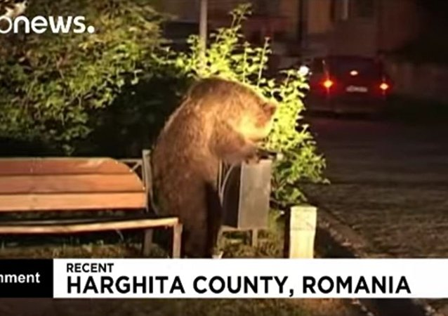 罗马尼亚遭饿熊攻击