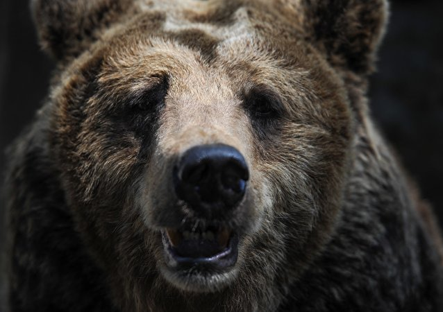 俄伊尔库茨克州一只野熊在市中心攻击路人